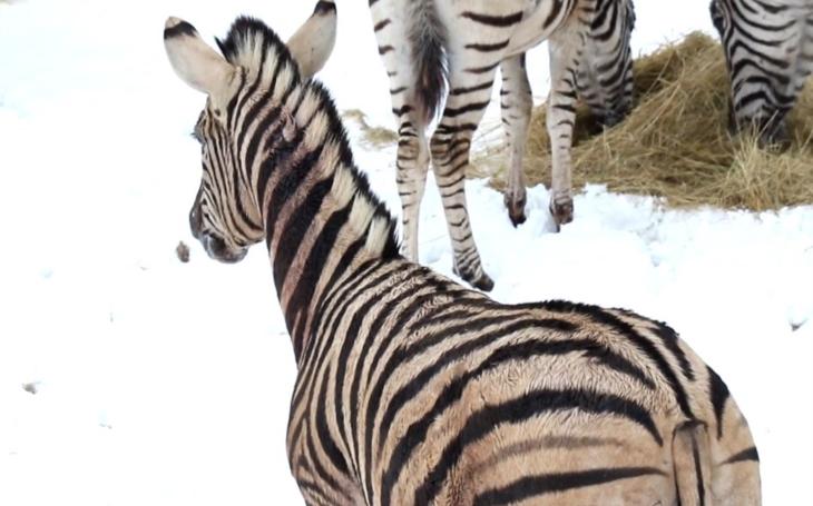 Patálie se zebrami, kdy nám pan ředitel vysvětlil... A mikulášská honička v jihlavské Zoo; zebří adolescent řádil jako tajfun