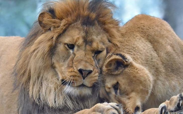 Smutní rodiče. Pár vzácných lvů berberských přišel o mláďata, již podruhé. Co odhalila pitva?