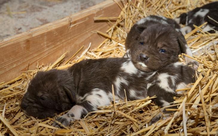 Smečka vzácných psů hyenových se rozrostla o šest štěňátek. Safari Park Dvůr Králové slaví již po potřetí