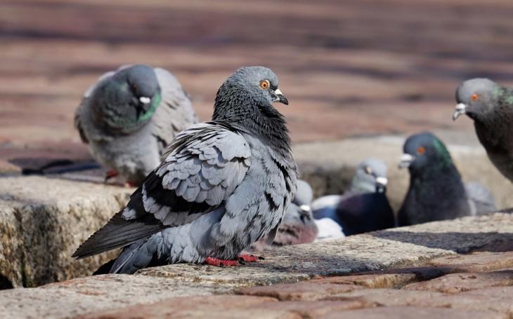 Zoo Tábor protestuje proti barbarskému odstřelu holubů, jsou jedněmi z posledních živočichů přežívajících ve městech