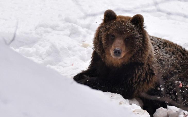 Je tenhle sladký chlupáč ´vsetínský zabiják ovcí´? V Beskydech se objevil medvěd, ochranáři luští, zda je to on
