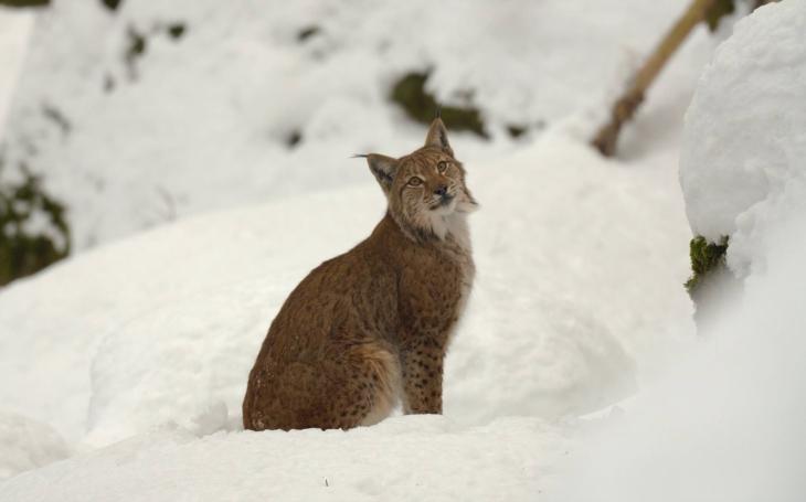 Desítka rysů, vlků a medvědů méně… Ochránci přírody v Beskydech pátrají po velkých šelmách. Přidají se i Bílé Karpaty