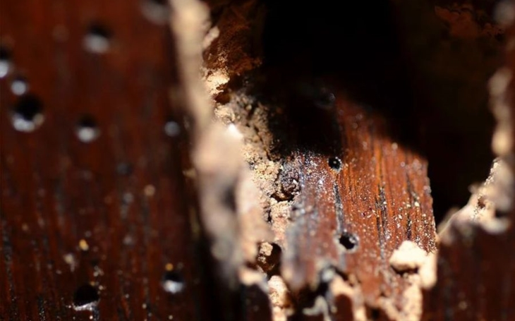 Jablonecké varhany sežral barbar nekulturní, červotoč. Vyhryzal si chodbičky mezi píšťalami. Bez pomoci oněmí