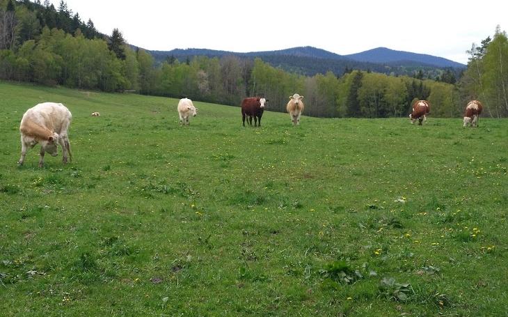 Volání rodu, Sokol a Havranpírko... Slalomem mezi kravami zpět do doby kamenné. Filmové stopy