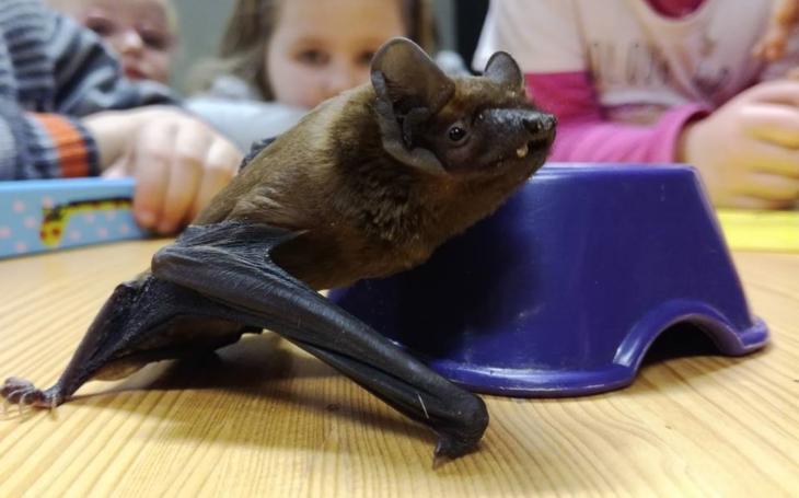 Hendikepovaný netopýrek Lumír a jeho zdraví kámoši… Můžete se kouknout, kde bydlí a pohladit si Lumíra, třeba ho i nakrmit