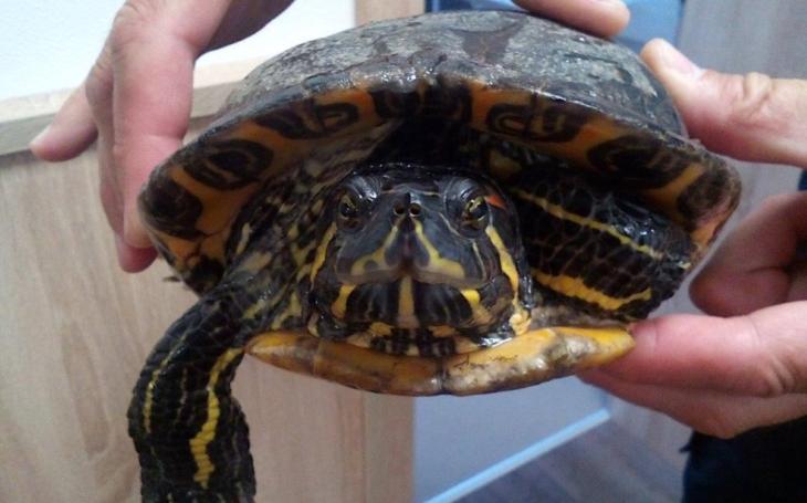 ´Želva na útěku.´  I suchá řeč policejních svodek někdy překvapí… Jak rychle prchá taková želva a jak to celé dopadlo?