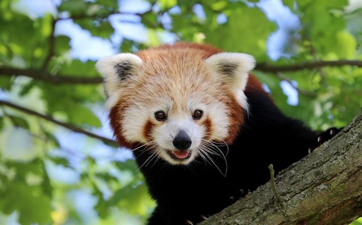 Nepál, sameček pandy červené, je jedenáctý den na útěku. Samička smutní a Zoo vypsala odměnu, v ceně 700 korun