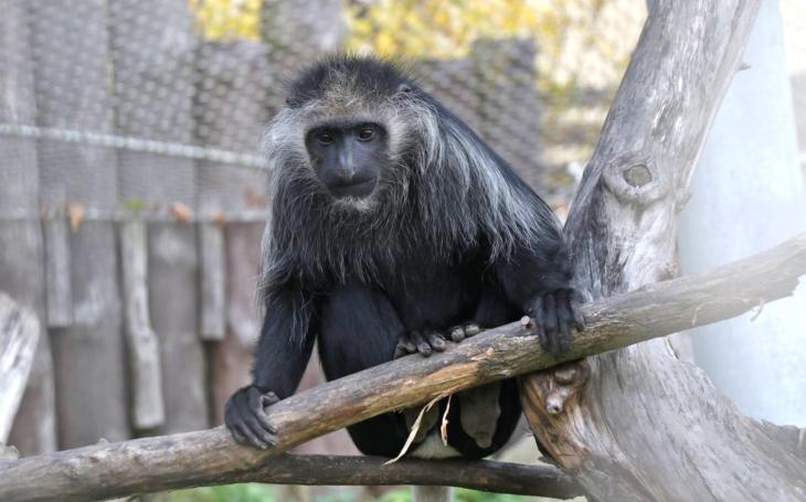 Dvě opičky, guerézy běloramenné, uprchly z jihlavské Zoo. Ta ale zarputile mlčí, i když policejní linka se netrhla