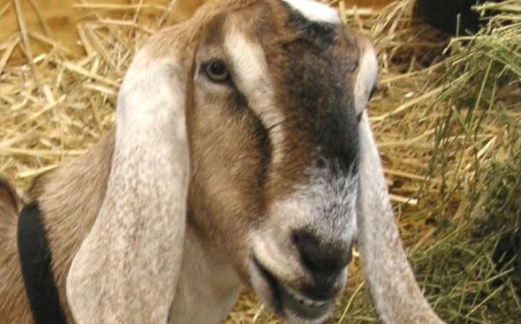Bezcitná, surová, hloupá a zbytečná smrt. Za níž to ´prase´ nejspíš nebude pykat, obětí totiž byla ´jen´ koza. Změní to nový zákon?