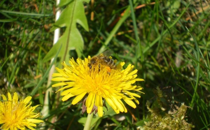 Dnes mají včely svůj den. Jenže to vypadá, že v Česku tak nějak nemají ´svůj rok´, jednak umírají na včelí mor a pak ta řepka…