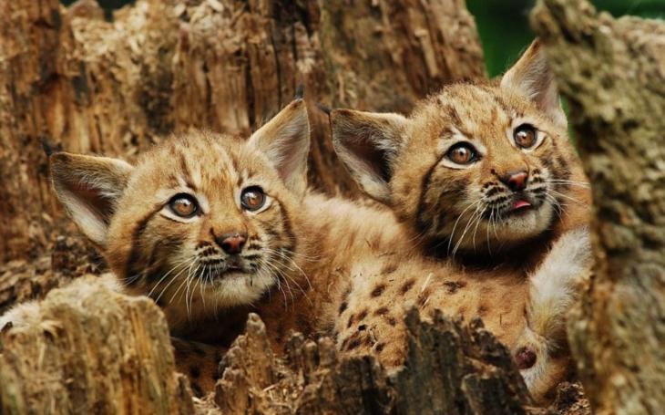 V ostravské Zoo zabili malé rysíky, protože nevěděli, co s nimi. Sociální sítě běsní, olej do ohně přilila Zoo v Táboře