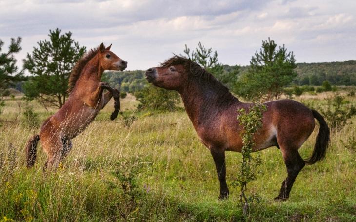 Chlapi, styďte se. Macho hřebci divokých koní jsou tolerantní, něžní otcové a se svými hříbaty si rádi hrají… když doma nemají kukaččí vejce