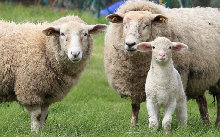 Vlci mu roztrhali poslední tři ovečky, chovatel to balí. Smutné, ale… Ochránci přírody radí, co dělat, aby se vlk nažral a ovce zůstala celá. Má to ale háček