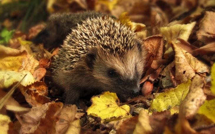 Když vám na zahradě zaparkuje ježek: Kdy je čas ho začít zachraňovat a kdy čas jít mu z cesty?