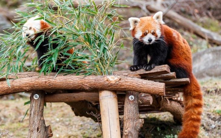 Na chvostu zůstal chudák sup. Zato všichni chtějí surikaty. Krajské listy na protest proti čínské imperiální chrtivosti pozvaly na oběd… pandu červenou