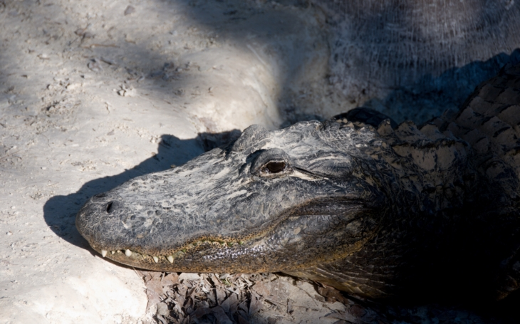 Kdo byl už tehdy větší dravec? Krmení aligátorů s Radovanem Krejčířem. S cestovatelem Milošem Beranem poprvé na Floridu