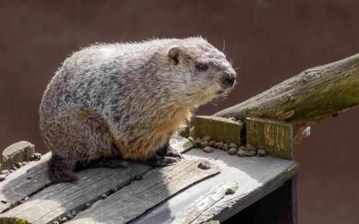 Svišť v pražské Zoo vykoukl po zimě ze své nory. Ve čtvrtek začne konečně doopravdy jaro