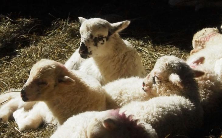 V Rožnově se narodilo 20 jehňátek plemena valašek, v této oblasti původní. Už letos budou ´sekat´ beskydské pastviny. Kam se ale ovce nehodí?