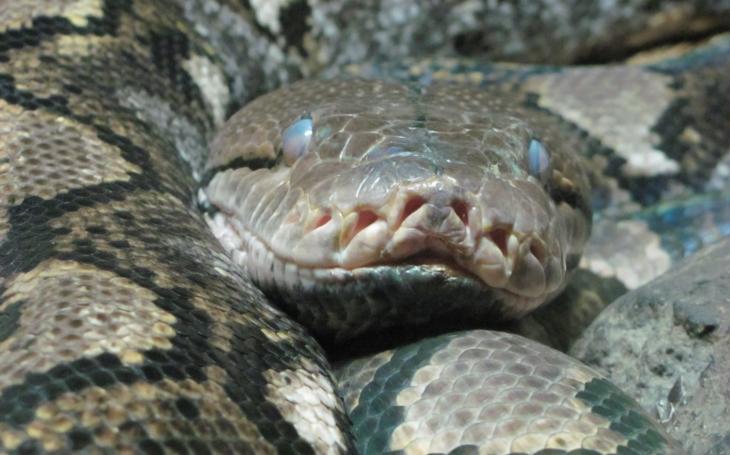 Obří lidožravé hady a další hrozivá plazí monstra možná stále ukrývají jihoamerické pralesy. Dobře utajené příšery - seriál Krajských listů, díl sedmý