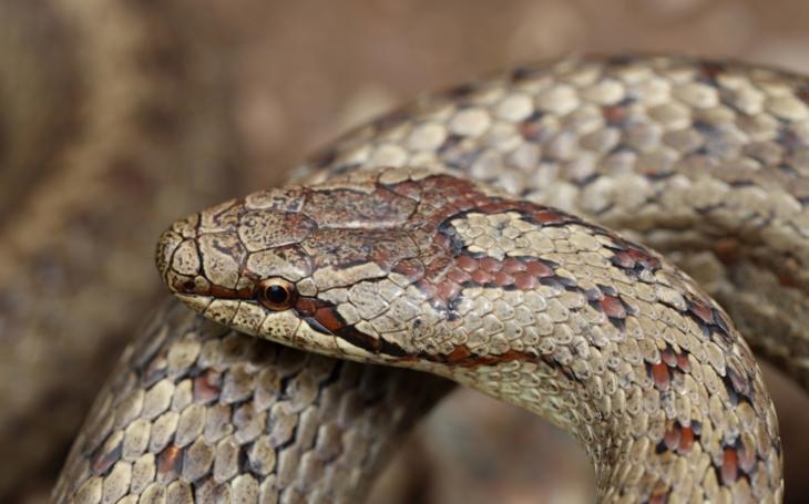 Pokud někomu nezdrhne mamba, v ČR žijí jen čtyři druhy hadů. Které to jsou, jak přesně vypadají a máme se jich bát?