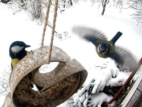 Sčítání ptáků na krmítku